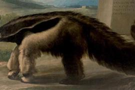 Atribuyen a Goya una pintura de oso hormiguero conservada en el Museo Ciencias Naturales