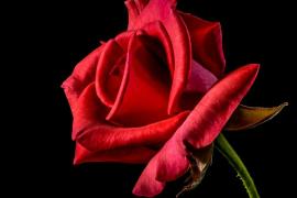 ¿Por qué se regalan rosas en el Día del Libro?