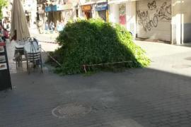 El Ayuntamiento de Palma tala un árbol «fracturado» en la calle Olmos por «seguridad»