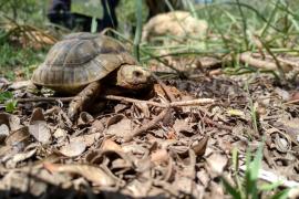 Liberan casi 200 tortugas mora en la finca pública de Galatzó