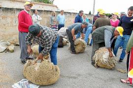 La Festa des Tondre rememora en Santanyí el arte antiguo de esquilar ovejas con tijeras