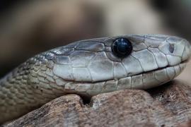 Capturan una serpiente de 80 centímetros en el interior de un horno