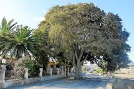 Una grave efermedad afecta al 'lledoner' del cementerio, catalogado como árbol singular