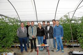La UIB trabaja en una nueva variedad de tomate de 'ramellet' resistente a virus y plagas