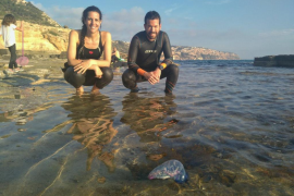Hallan en Mallorca el primer ejemplar vivo de carabela portuguesa