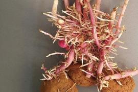 Sa Pobla celebra la Fira nocturna de la patata 2018