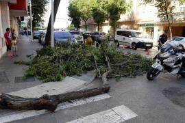 La rama de un árbol cae sobre un coche en marcha en Palma