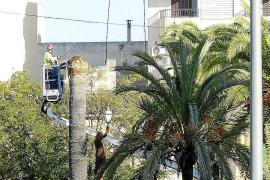 La plaga del picudo rojo llega a las palmeras de la ciudad