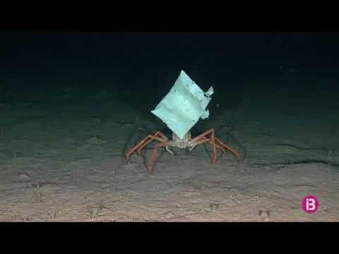 Graban a 500 metros de profundidad un cangrejo con una bolsa de plástico