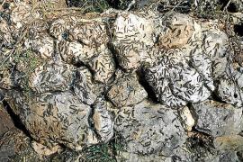 La plaga de oruga peluda se expande del Pla a los encinares de Tramuntana