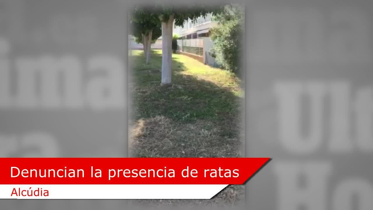 Denuncian la presencia de ratas «como gatos» en Alcúdia