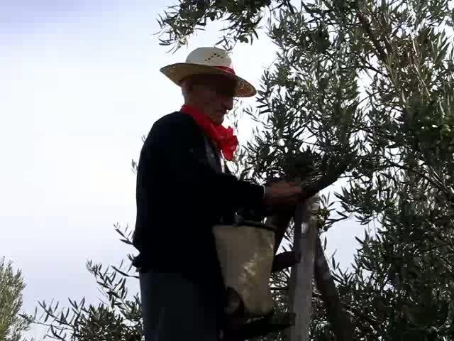 La recogida de la aceituna arranca con menos frutos pero de buena calidad