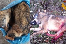 La Guardia Civil denuncia a un hombre por intentar vender por Internet un lobo ibérico congelado