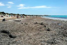 Terraferida pide al Govern que impida la retirada de restos de posidonia de sa Ràpita