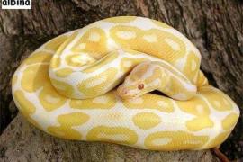 La policía de Llucmajor encuentra la serpiente pitón albina que se había escapado
