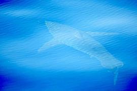 Discrepancias científicas sobre la especie del tiburón avistado en Cabrera