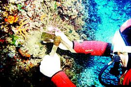 El Govern limita la extracción de coral rojo en aguas de Baleares