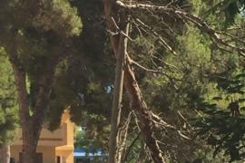 Una rama de pino cae sobre la calzada en Can Pastilla