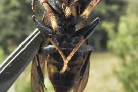 Muere un hombre por una picadura de avispa asiática