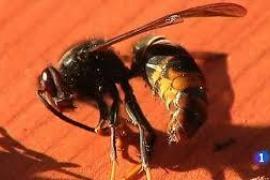 Todo sobre la avispa asiática, cuya picadura ha matado a un hombre en Galicia