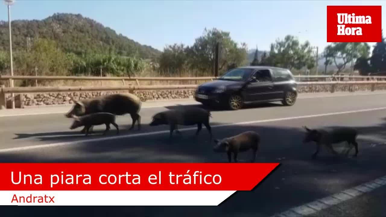 Una piara de cerdos corta el tráfico en Andratx