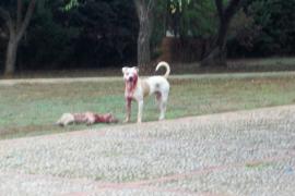 Un perro de raza peligrosa ataca a un hombre en Cala Bona y mata al perrito que paseaba
