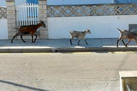 Invasión de cabras en las calles y jardines de la Cala Sant Vicenç