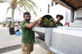 La recogida de uva en las bodegas de Can Rich, en imágenes (Fotos: Arguiñe Escandón).