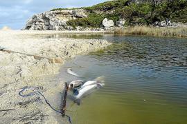 La falta de oxígeno en el torrente de Son Bauló provoca la muerte de cientos de peces