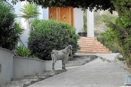 Vecinos del Port de Andratx y Camp de Mar denuncian una 'invasión' de cabras salvajes