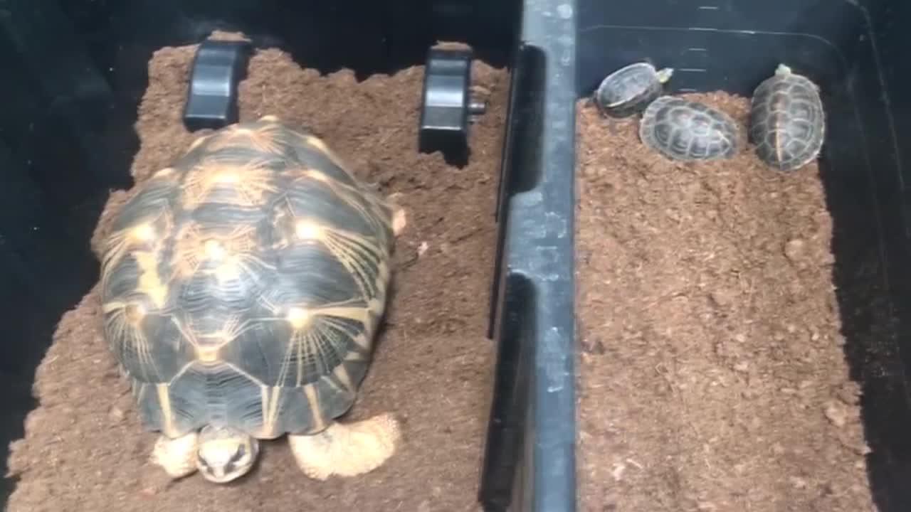 Ejemplares de hasta 60.000 euros, entre las tortugas incautadas en Mallorca