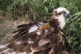 Un águila pescadora marcada en Mallorca viaja 1.020 kilómetros hasta Portugal