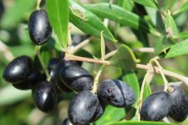 La cosecha de olivas de Sóller caerá este año un 70 % por la mosca y la humedad