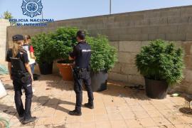 Detenido el dueño de una vivienda de Manacor por tener plantas de marihuana