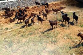 Medi Ambient afirma que carece de «medios técnicos» para frenar la última invasión de cabras en Son Gual
