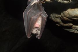 Dos posibles contagios de rabia por mordedura de murciélagos
