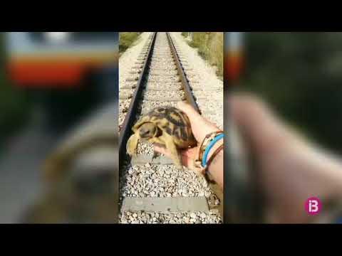 El maquinista para el tren de Manacor para salvar a una tortuga