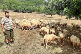 El payés Jeroni Salom habla sobre el ataca de un perro a sus ovejas