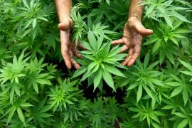 Dimite un concejal socialista de Pampaneira (Granada) tras localizarle 350 plantas de marihuana