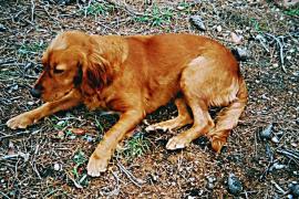 Aparecen cinco perros envenenados en Andratx y la Guardia Civil abre una investigación