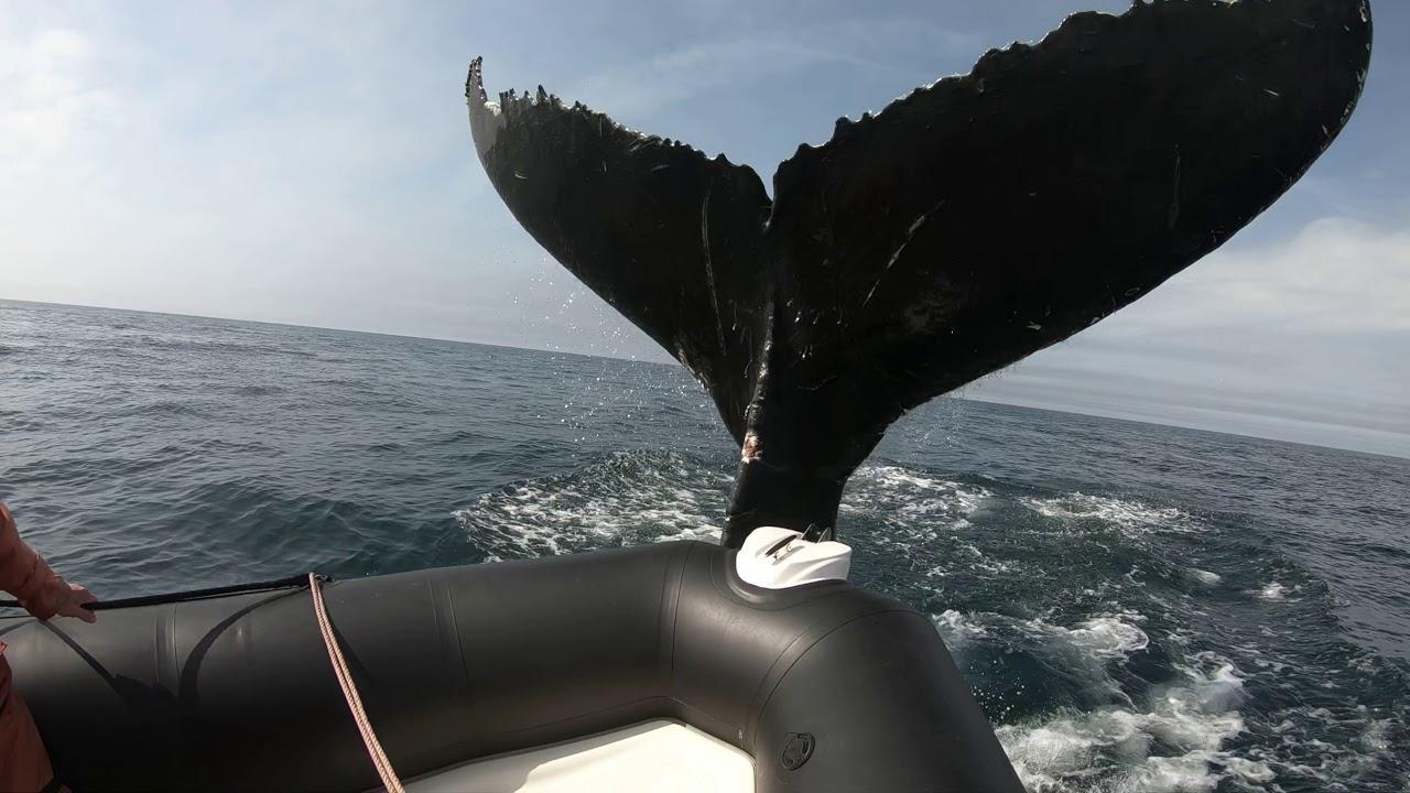 Una ballena golpea a una pequeña embarcación