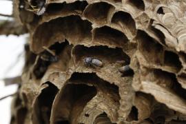 Un solo nido de avispa asiática en 2018