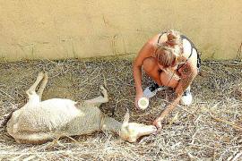 La Guardia Civil investiga el abandono de ovejas en el Camí des Prat, en Andratx
