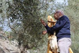 Comienza la cosecha de 'Oliva de Mallorca' con 111 fincas inscritas