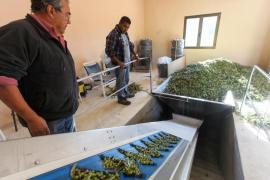 La producción de aceite en la finca de Can Benet, en imágenes (Fotos: Daniel Espinosa).