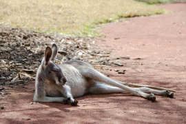 Una mujer resulta herida tras ser atacada por un canguro al darle de comer