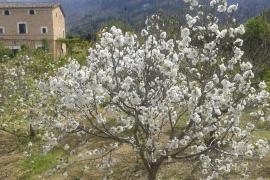Reconocidas de forma oficial cinco variedades locales de cerezo de Mallorca