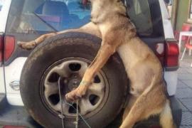 Estupor por el traslado en Asturias de un lobo muerto a manos de guardas