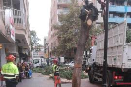 Técnicos del Ayuntamiento de Palma acuerdan retirar cuatro árboles de Pere Garau tras la caída de un ficus