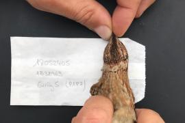 La codorniz balear revoluciona la ciencia